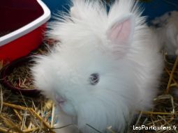 lapin teddy angora  animaux rongeur ain