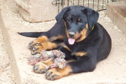 chiots beauceron lof animaux chien cantal