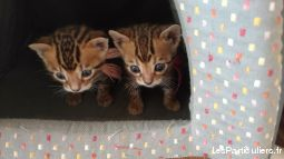 chatons bengal  animaux chat ain