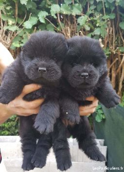chowchow animaux chien haute-marne