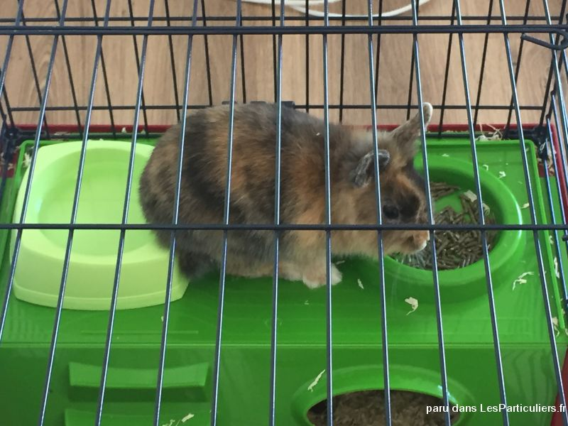 Lapin nain et extra nain Animaux Rongeur Loire-Atlantique