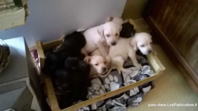 Chiots LABRADOR Animaux Chien Somme