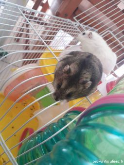 les 3 hamster dames animaux rongeur guadeloupe