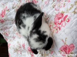 bb lapins nains belier / minilop animaux rongeur yonne