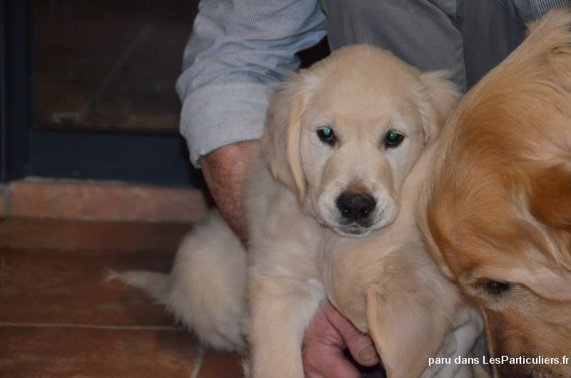 Adorables chiots Golden Retreiver