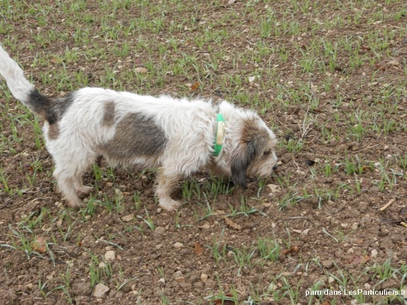 PETITS BASSETS GRIFFONS VENDEENS Animaux Chien Charente-Maritime