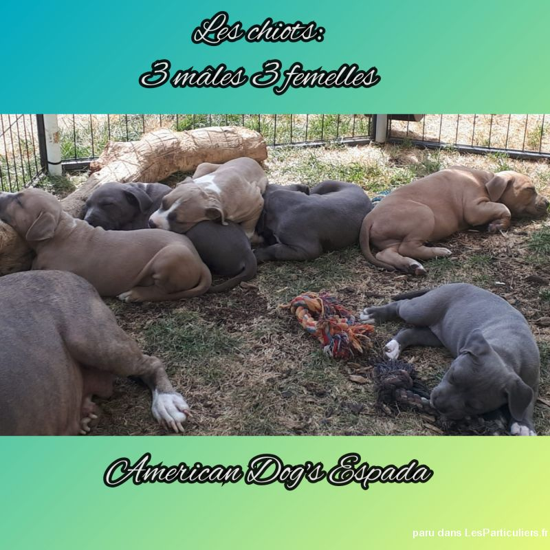 Chiots American staffordshire terrier LOF Animaux Chien Seine-et-Marne