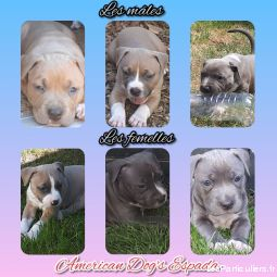American staffordshire terrier LOF