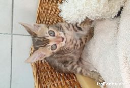 3 femelles  bengal brown tabby spotted disponible