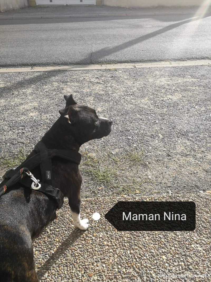 Chiot staffordshire Bull terrier  Animaux Chien Allier