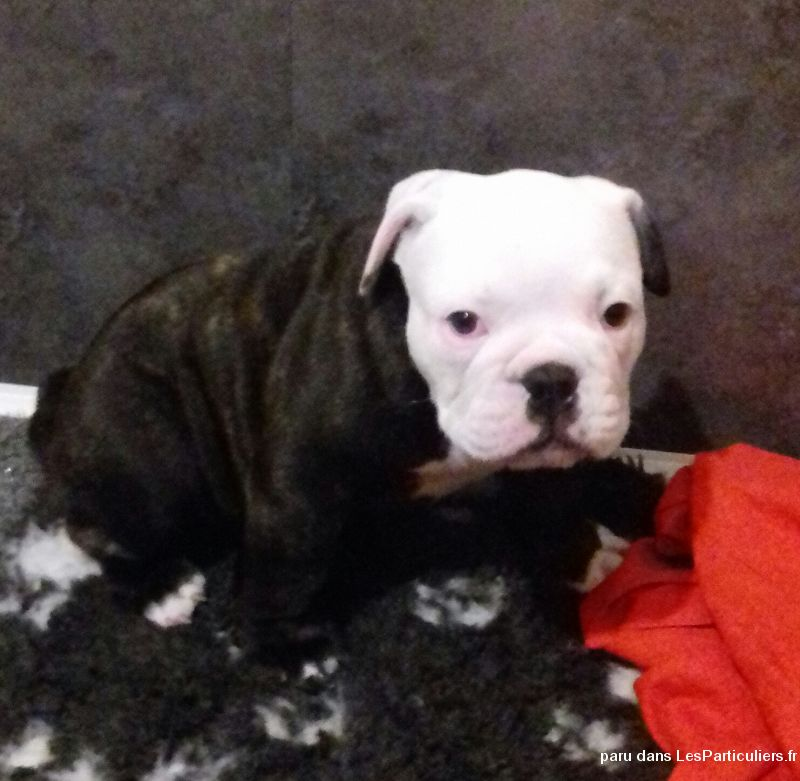 Old english bulldog Animaux Chien Loire