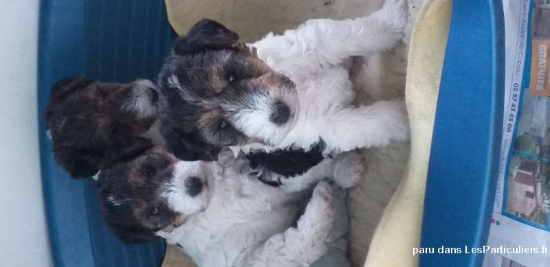 Chiot fox terrier LOF Animaux Chien Gironde