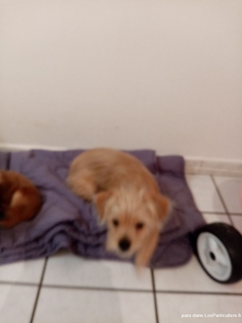 Chiot griffon  Animaux Chien Nord