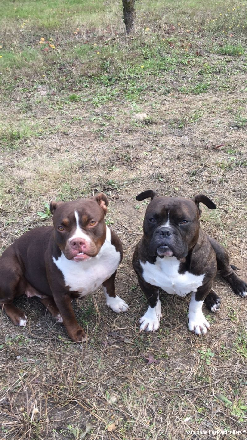 American bully Animaux Chien Vienne